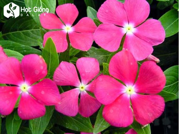 Hạt giống hoa dừa cạn rũ