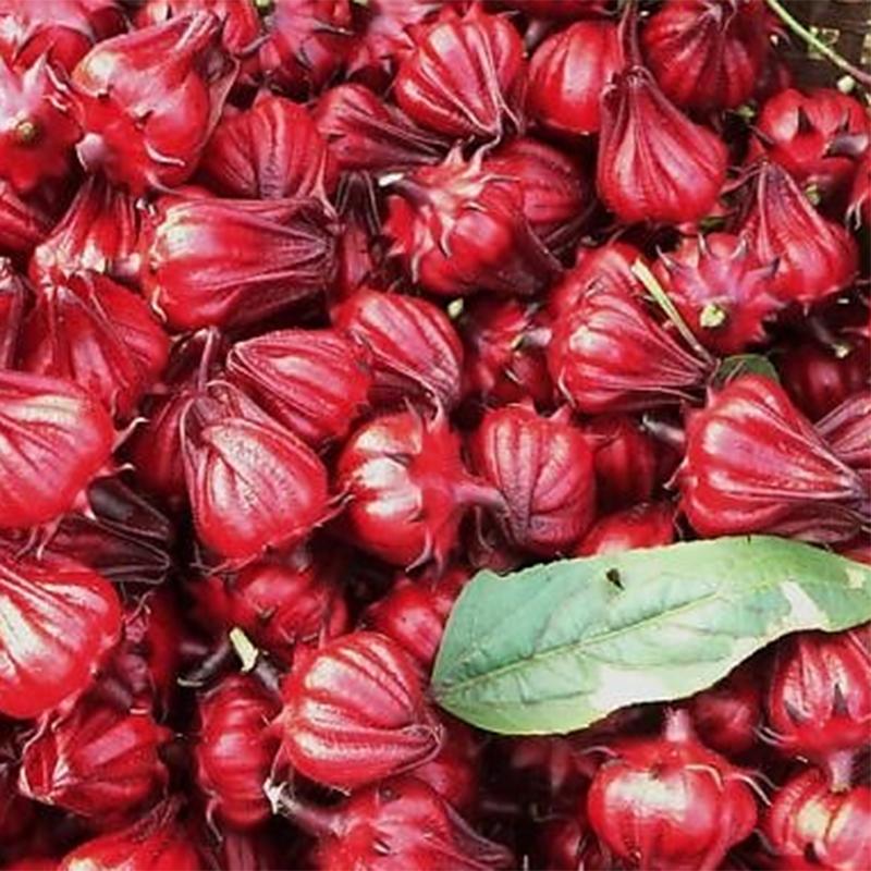 Hạt Giống Cây Atiso Đỏ ( Bụp Giấm)